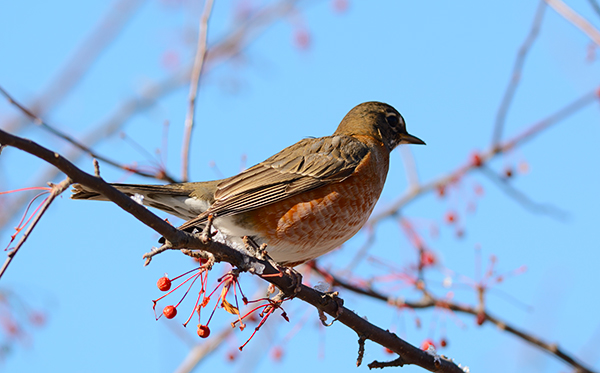 Bird Photography Composition Tips. American Robin perching on a tree branch.
