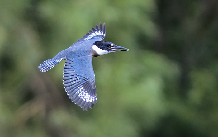 The Rule of Thirds Photography Composition tip for Bird Photography. A Belted Kingfisher in flight.