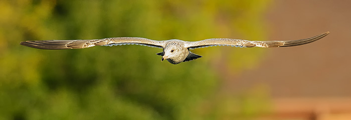 The Rule of Thirds Photography Composition tip for Bird Photography. A Seagull in flight.