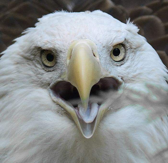 The Rule of Thirds Photography Composition tip for Bird Photography. A Bald Eagle portrait.