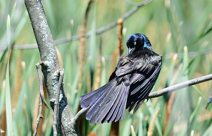 The Rule of Thirds Photography Composition tip for Bird Photography. Common Grackle Preening.