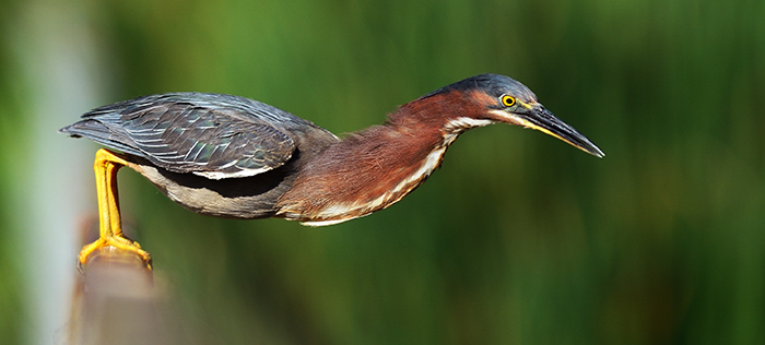 The Rule of Thirds Photography Composition tip for Bird Photography. Green Heron Leaning forward to catch its prey.