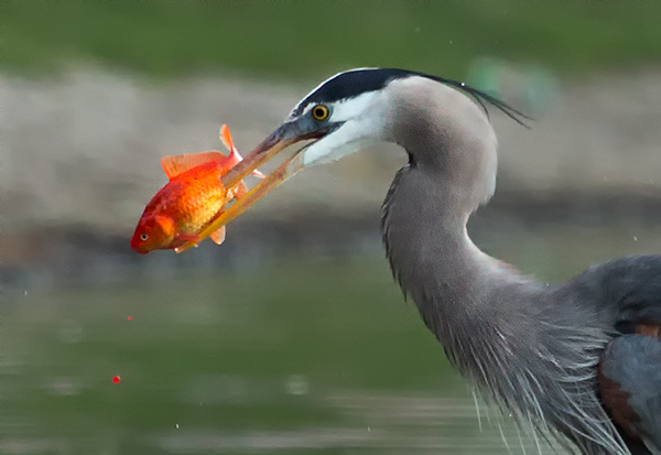 Bird Photography Composition. Great Blue Heron with Red Fish.