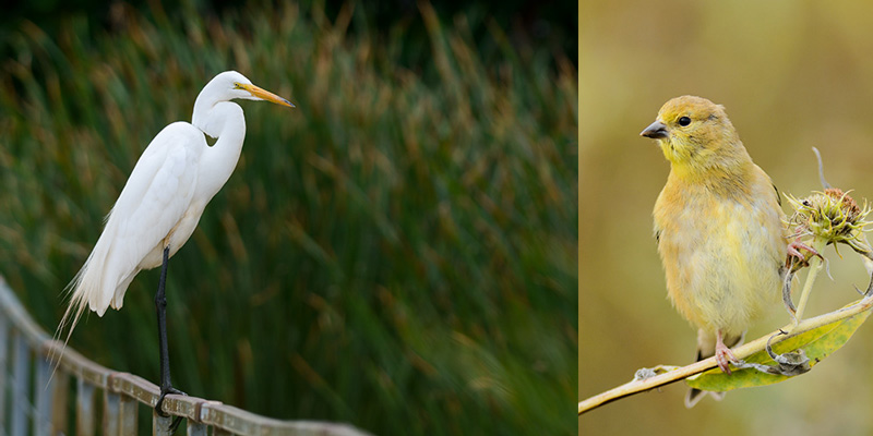 Bird Photography Tips. Juvenile Great Egret perching on iron rod. American gold finch perching on a branch which fills the frame.