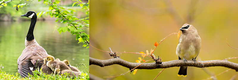 Bird Photography Tips. Geese with Goslings and Cedar waxwing perched on a tree branch. Birds in their habitat.