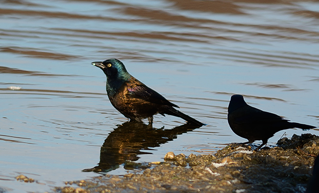 Bird Photography Composition Tips. Common Grackle bathing in the water.