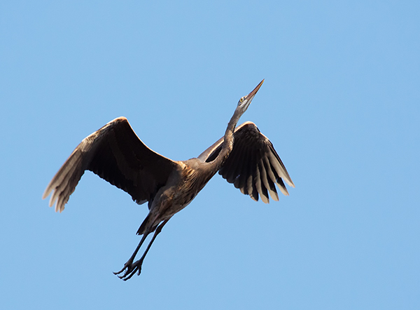 Bird Photography Composition Tips. Great Blue Heron in Flight.