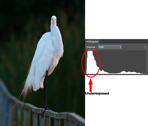 Understanding Histogram. Great Egret with underexposed histogram.