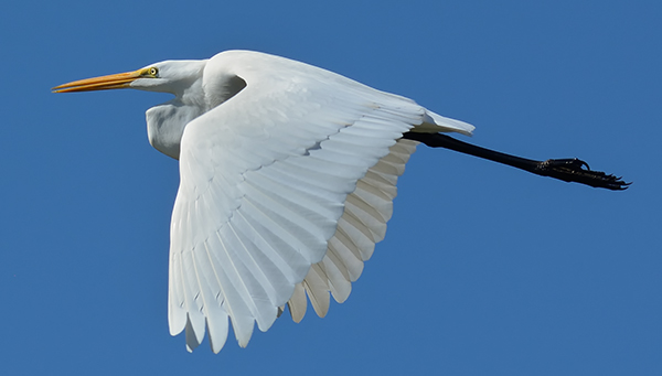Bird Photography Composition Tips. Great Egret in Flight.