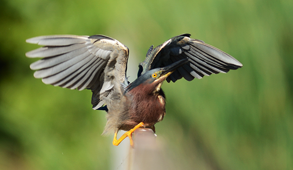 Bird Photography Composition Tips. Green Heron spreading its wings.