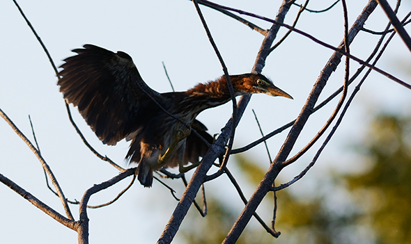 Bird Photography Composition Tips. Juvenile Green Heron struggling to land on a tree branch.