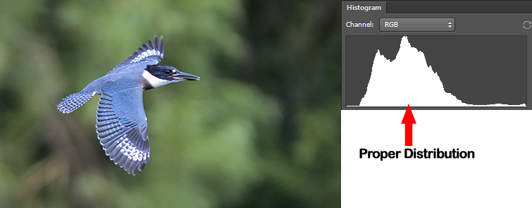 Understanding Histogram. Belted Kingfisher in flight. Proper distribution of histogram showing perfect exposure.