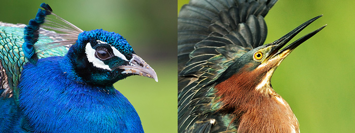 Bird Photography Tips. Peacock portrait and Green heron portrait shows their eyes in tack sharp focus making it very lively