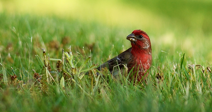 The Rule of Thirds Photography Composition tip for Bird Photography.  Red headed sparrow.
