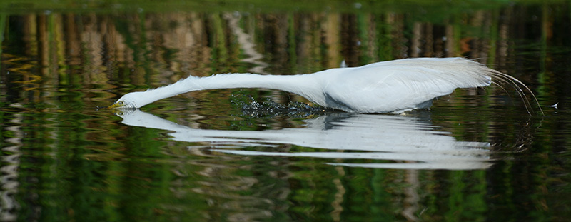 Digital Photography Composition: Great Egret's reflection showing breaking the rule of thirds