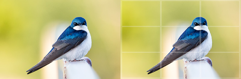 Digital Photography Composition: Blue and white swallow's eye on the intersection point of the rule of thirds grid