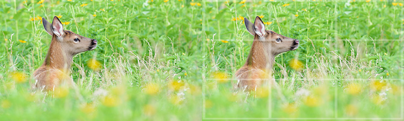 Digital Photography Composition: Rule of third grid overlay on a white tailed deer photograph