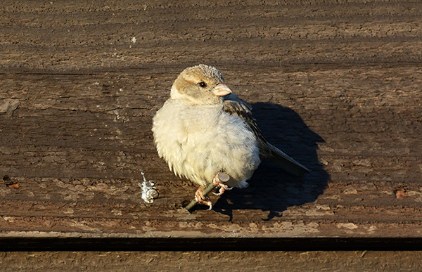 Bird Photography Composition Tips. A Sparrow perched on a nail in front of an apartment.