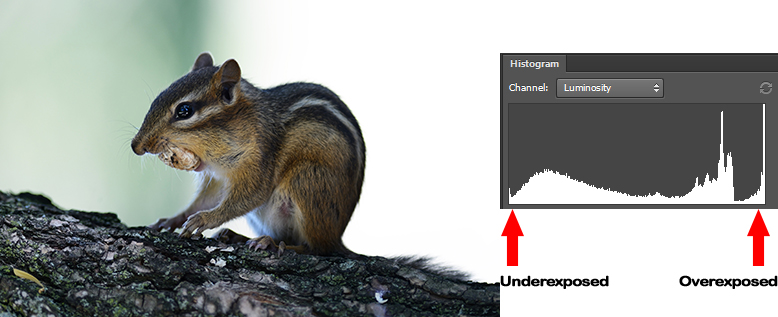 Understanding Histogram. Chipmunk on a tree branch showing overexposed histogram.
