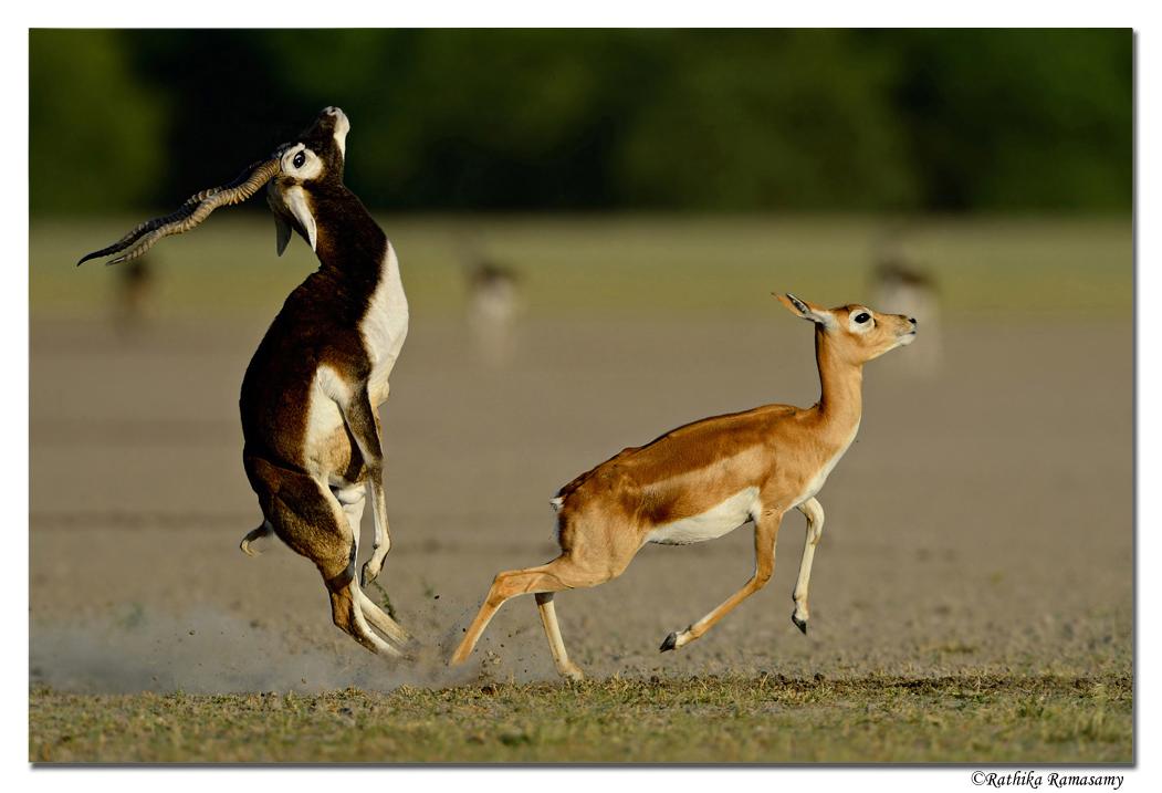 Wildlife Photography by Professional Wildlife Photographer Rathika Ramasamy. Black Buck Pair