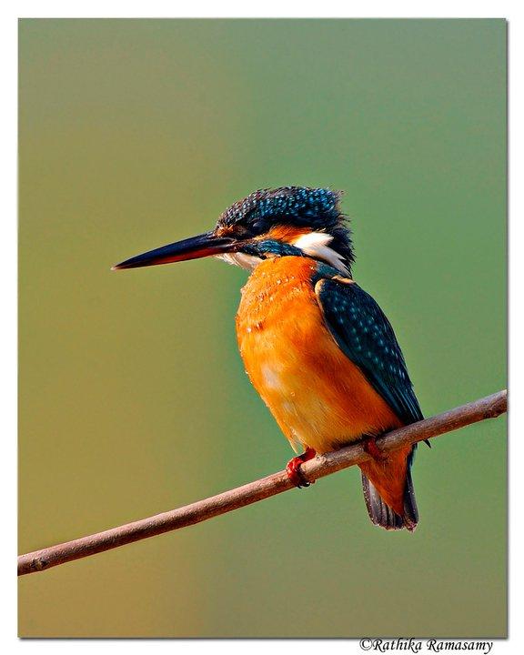 Bird Photography by Professional Wildlife Photographer Rathika Ramasamy. Common Kingfisher