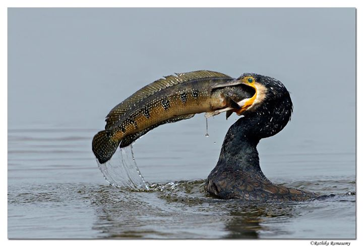 Bird Photography by Professional Wildlife Photographer Rathika Ramasamy. Cormorant Catching a Fish.