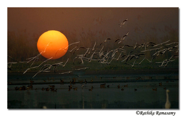 Bird Photography by Professional Wildlife Photographer Rathika Ramasamy. Gulls in Sunset.