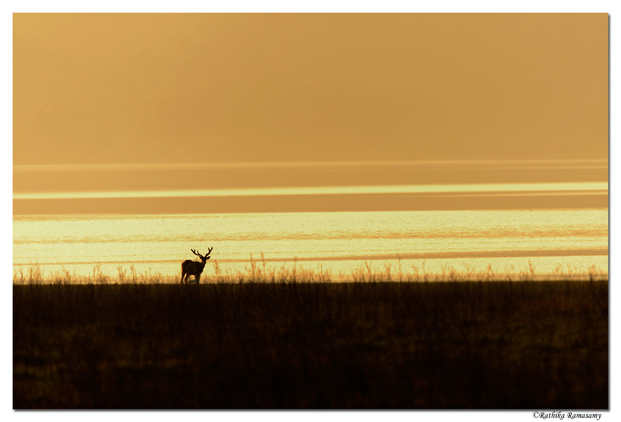 Wildlife Photography by Professional Wildlife Photographer Rathika Ramasamy. Lone Deer in Sunset.