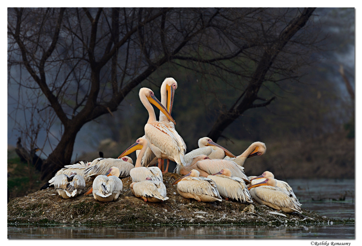 Bird Photography by Professional Wildlife Photographer Rathika Ramasamy. Group of Pelicans in Keoladeo National Park in Bharatpur, Rajasthan, India