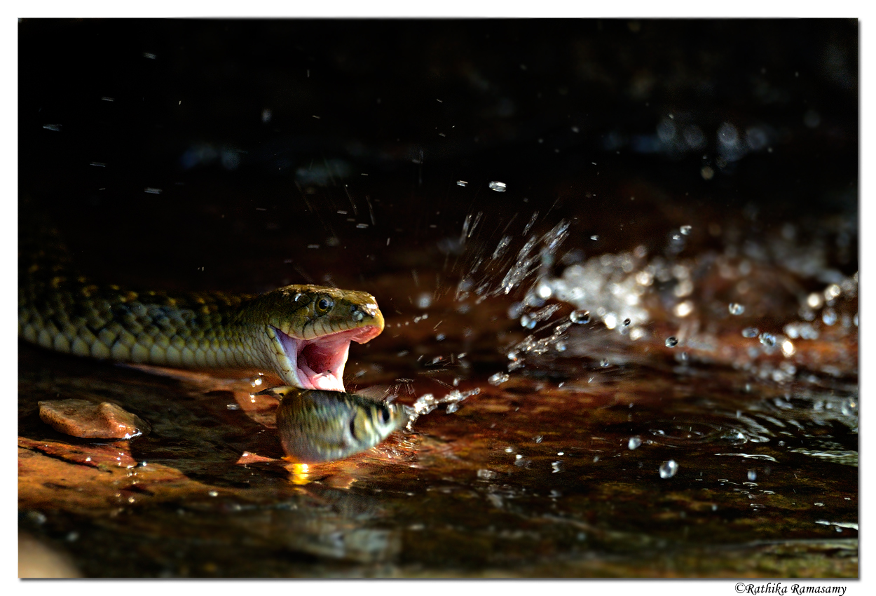 Wildlife Photography by Professional Wildlife Photographer Rathika Ramasamy. Snake Fishing.