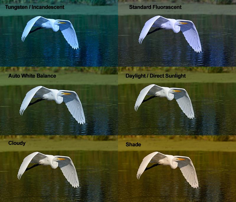 White Balance Settings. Great Egret image showing the effect of having wrong white balance settings