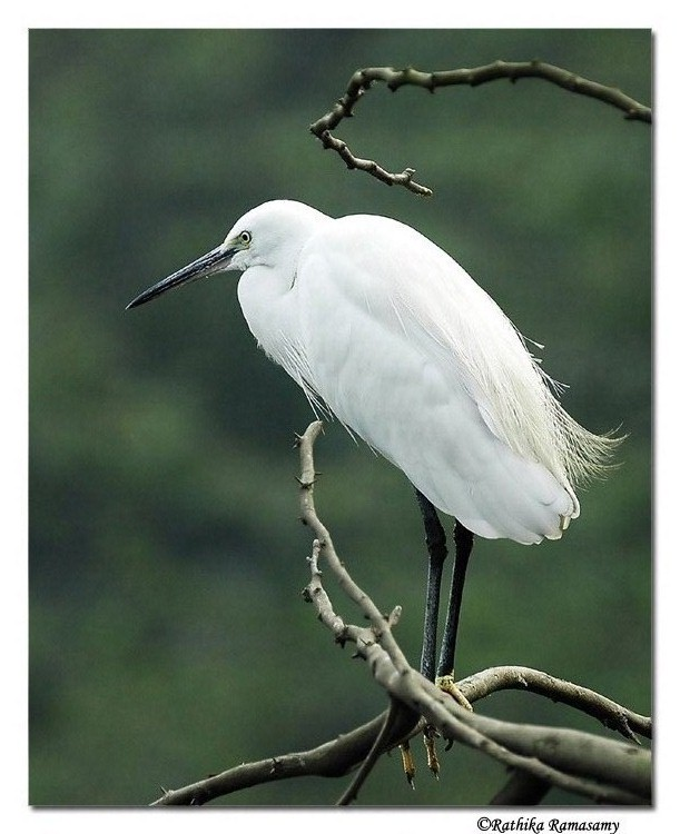 Bird Photography by Professional Wildlife Photographer Rathika Ramasamy. Egret.