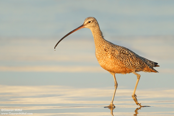 Gaurav Mittal Interview. Young and Talented Bird Photographer from India. Long-billed Curlew.
