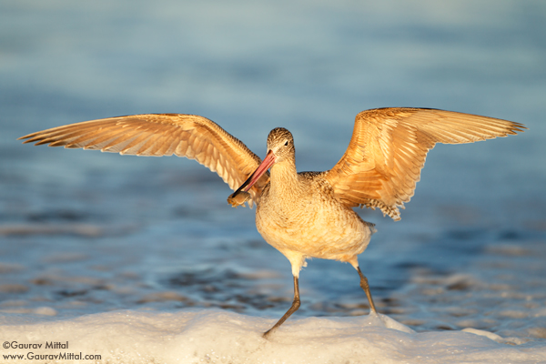 Gaurav Mittal Interview. Young and Talented Bird Photographer from India. Marbled Godwit
