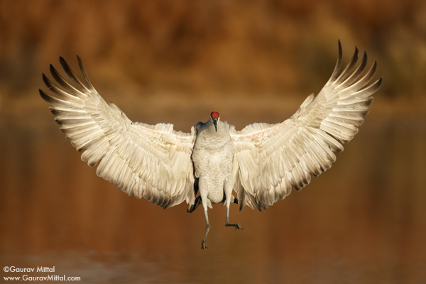 Gaurav Mittal Interview. Young and Talented Bird Photographer from India.  Sandhill Crane Landing