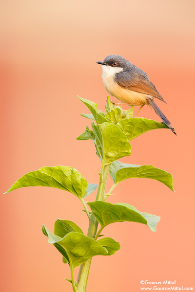 Gaurav Mittal Interview. Young and Talented Bird Photographer from India. Ashy Prinia.