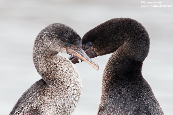 Gaurav Mittal Interview. Young and Talented Bird Photographer from India. An intimate portrait of flightless Cormorants.