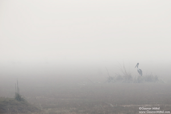 Gaurav Mittal Interview. Young and Talented Bird Photographer from India. Black Stork in the Early Morning Mist.