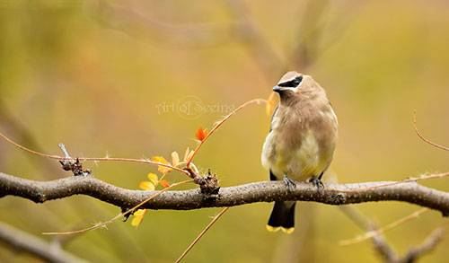 Nature Photography Simplified. Shallow Depth of Field. Cedar Waxwing Perching On A Tree Branch