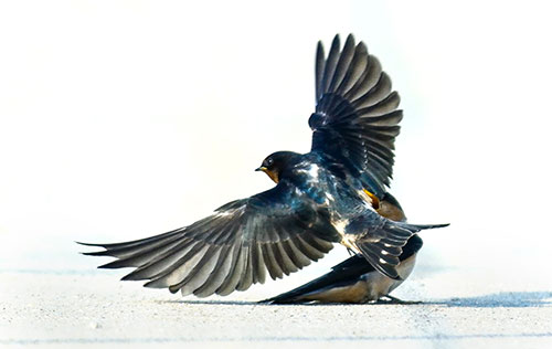 Shutter-Speed-Freeze-Action-Barn-Swallow-In-Flight