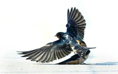 Shutter-Speed-Freeze-Action-Barn-Swallow-In-Flight