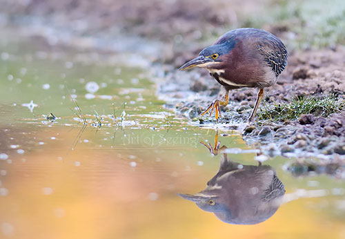 Nature Photography Simplified. Shutter Speed. Green Heron fishing.