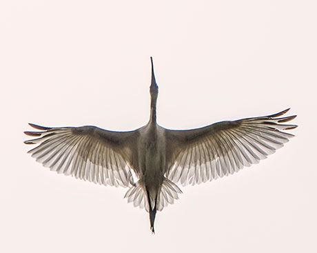 Nature Photography Simplified. Shutter Speed. Ibis in flight.
