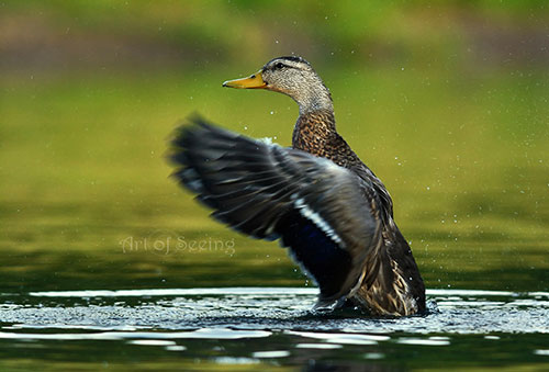 Nature Photography Simplified. Shutter Speed. Female Mallard Duck bathing.