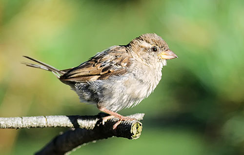 Nature Photography Simplified. Shallow Depth of Field. Sparrow perched on a tree branch.