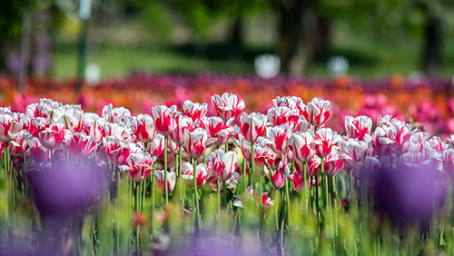 Nature Photography Simplified. Shallow Depth of Field. Tulip Garden in Holland, USA