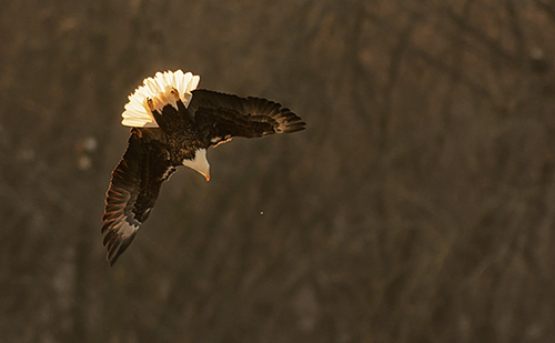 Nature Photography Simplified. Digital Photography Basics. Understandings Exposure. ISO, Shutter Speed, Aperture. Bald Eagle Diving in the Lock and Dam in IOWA