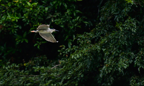Nature Photography Simplified. Rule of Thirds.  Photography Composition Techniques. Black Crowned Night Heron in flight in Ranganathittu Bird Sanctuary.