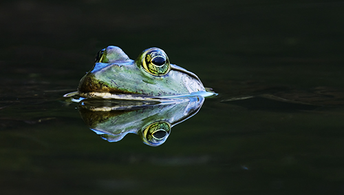 Nature Photography Simplified. Photography Composition Techniques. Symmetry. Nature Photography Simplified. Photography Composition Techniques. Perfect Reflection of a Frog