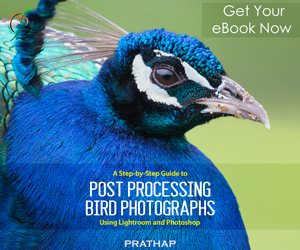 Post Processing eBook for Bird Photographers. A Step by Step guide to Post Processing Bird Photographs using Adobe Lightroom and Photoshop. An eBook by Prathap. Nature Photography Simplified.